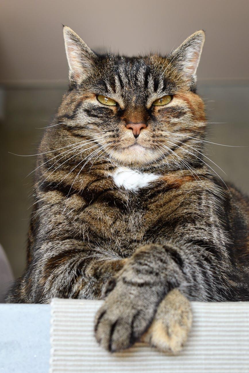 short fur black orange and gray cat